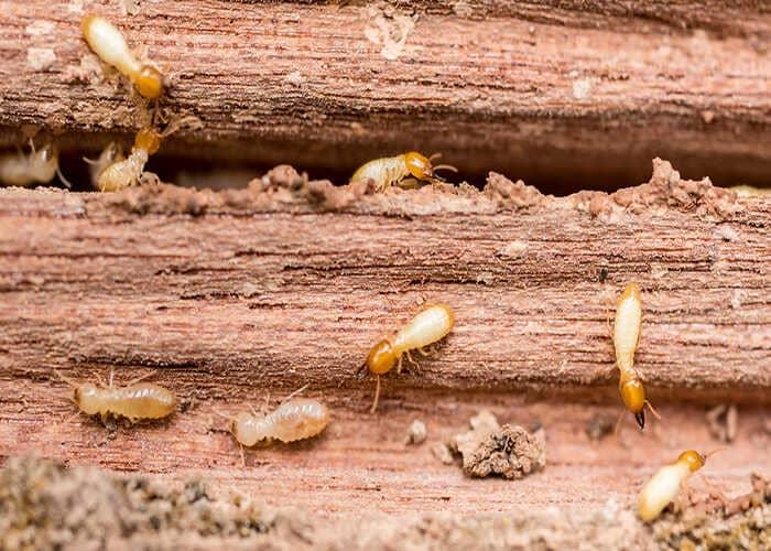 Đồ nội thất gỗ sồi có bị mối mọt không?