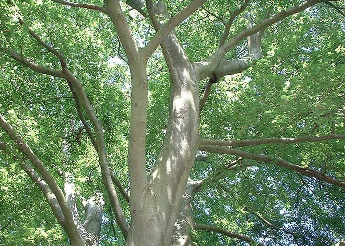 Gỗ beech nhập khẩu là gỗ gì?