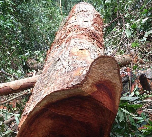 Đặc điểm chung của các loại gỗ nhóm 1