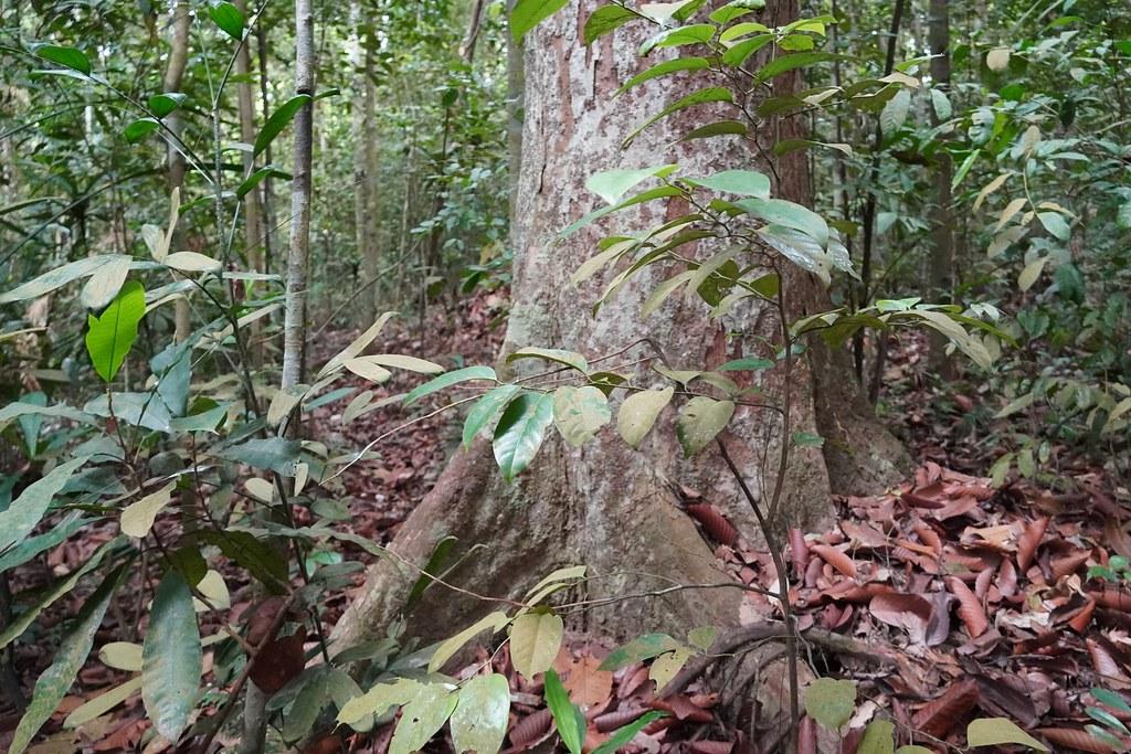 Đặc điểm của gỗ táu mật