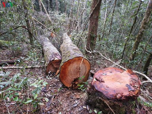 Danh sách gỗ nhóm 2a cần bảo vệ